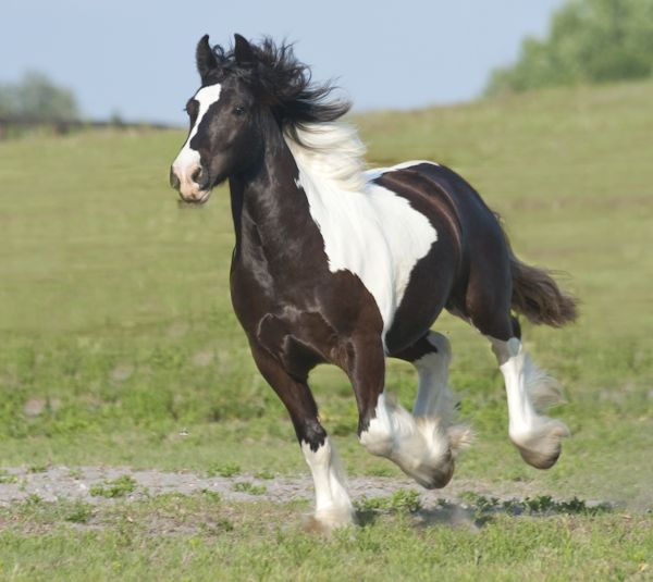 Odjus, a Gypsy Vanner horse colt owned by the W.R. Ranch