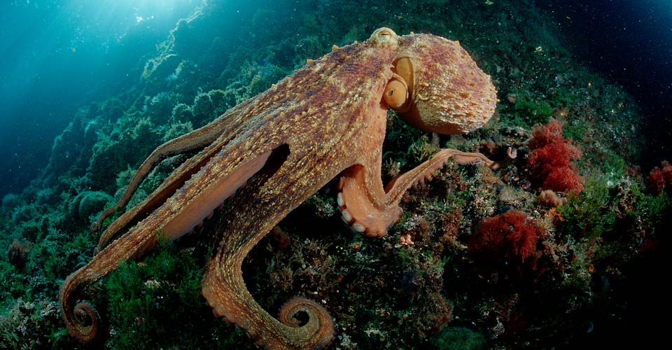 Ancient Octopus Skeletons Found